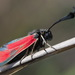 Zygaena punctum - Photo (c) Иван Тисленко, some rights reserved (CC BY-NC)