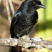 Coastal Forktail Drongo - Photo (c) Colin Ralston, some rights reserved (CC BY-NC)