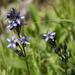 Swertia obtusa - Photo (c) Anna, algunos derechos reservados (CC BY-NC)