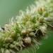 Amaranthus viridis - Photo (c) 傻子, algunos derechos reservados (CC BY-NC)