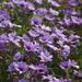 Geranium linearilobum - Photo (c) Никифорова Валерия,  זכויות יוצרים חלקיות (CC BY-NC)