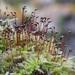 Brachytheciaceae - Photo (c) Vladimir Bryukhov, algunos derechos reservados (CC BY-NC)