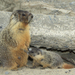 Yellow-bellied Marmot - Photo (c) Alan Vernon, some rights reserved (CC BY)