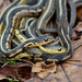 Common Garter Snake - Photo (c) Mark Kluge, some rights reserved (CC BY-NC-ND)