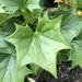 Hiedra Amarilla - Photo (c) hikerjen, algunos derechos reservados (CC BY-NC)