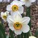 Narcissus poeticus - Photo (c) brian-ellison, algunos derechos reservados (CC BY-NC)