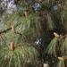 Pinus canariensis - Photo (c) pseudocreobotra, osa oikeuksista pidätetään (CC BY-NC)