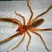 Galeodes - Photo (c) Siamaksabet, μερικά δικαιώματα διατηρούνται (CC BY-SA)