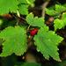 Ribes maximoviczianum - Photo (c) V.S. Volkotrub, algunos derechos reservados (CC BY-NC)