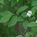 Deutzia parviflora - Photo (c) V.S. Volkotrub, some rights reserved (CC BY-NC)