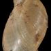 Pseudosuccinea columella - Photo Francisco Welter Schultes, sem restrições de direitos de autor conhecidas (domínio público)