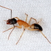 Banded Sugar Ant - Photo (c) Victor W Fazio III, some rights reserved (CC BY-NC)