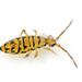Entomobrya multifasciata - Photo (c) ajcann, algunos derechos reservados (CC BY-NC)