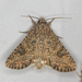 Nutmeg Moth - Photo (c) Shamal Murza, some rights reserved (CC BY-NC)
