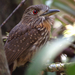 White-whiskered Puffbird - Photo (c) jennsinasac, some rights reserved (CC BY-NC), uploaded by Jenn Sinasac