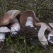Cortinarius brunneovernus - Photo (c) Drew Parker, algunos derechos reservados (CC BY-SA)