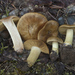 Cortinarius parkeri - Photo (c) Drew Parker, some rights reserved (CC BY-NC-SA)