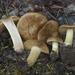 Cortinarius parkeri - Photo (c) Drew Parker, algunos derechos reservados (CC BY-NC-SA)