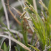 Krause's Sedge - Photo (c) Samuel Brinker, some rights reserved (CC BY-NC)