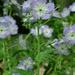 Phacelia purshii - Photo (c) Fritz Flohr Reynolds,  זכויות יוצרים חלקיות (CC BY-NC)