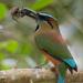 Momoto Cejas Azules - Photo (c) José Antonio Linage Espinosa, algunos derechos reservados (CC BY-NC)