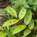 Zanthoxylum nitidum - Photo (c) sunnetchan, algunos derechos reservados (CC BY-NC-SA)
