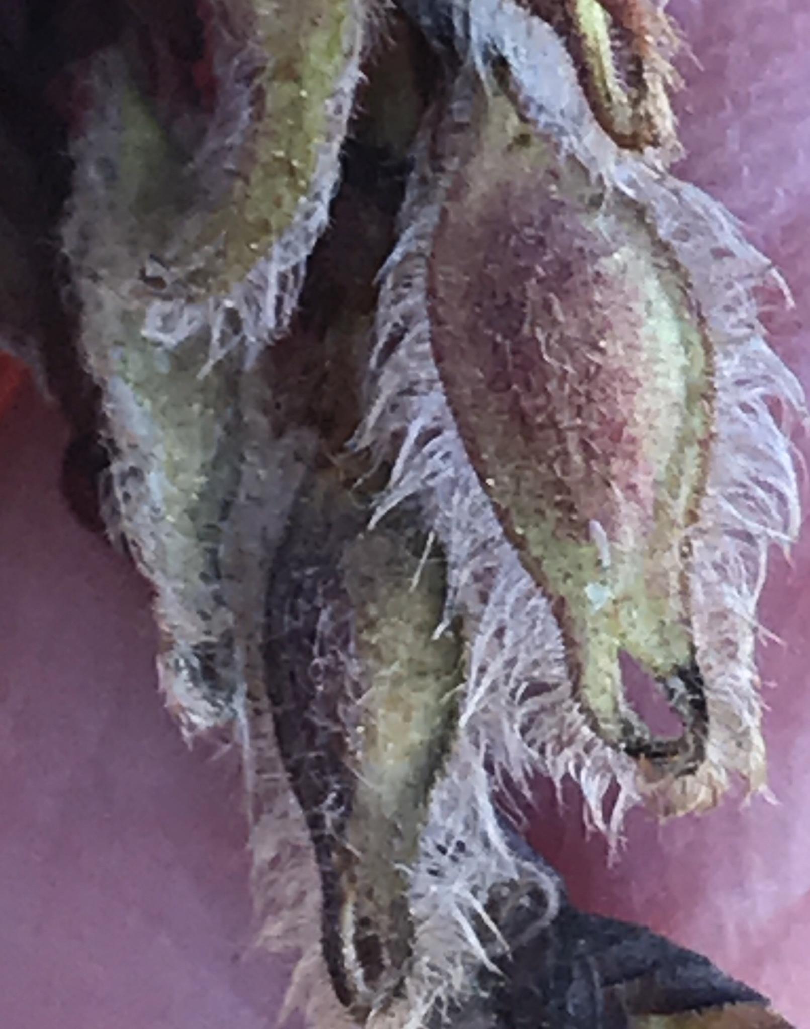 Spring samaras of Winged Elm