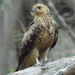 Whistling Kite - Photo (c) Bob McDougall, some rights reserved (CC BY-NC)