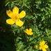 Ranunculus orthorhynchus platyphyllus - Photo Ningún derecho reservado