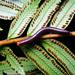 Trigoniulus pulcherrimus - Photo (c) Damien Brouste, μερικά δικαιώματα διατηρούνται (CC BY-NC)