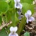 Viola mirabilis - Photo (c) Serge M. Appolonov, algunos derechos reservados (CC BY-NC)