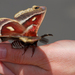 Glover's Silkmoth - Photo (c) Brad Smith, some rights reserved (CC BY-NC)