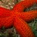 Echinaster sepositus - Photo (c) mnolito,  זכויות יוצרים חלקיות (CC BY-NC)