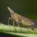 Dictyopharidae - Photo (c) budak, algunos derechos reservados (CC BY-NC)