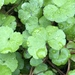 Waxweed Pennywort - Photo (c) Nathan Odgers, some rights reserved (CC BY-NC)