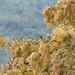 Julbernardia globiflora - Photo (c) Shirley Hitschmann, some rights reserved (CC BY-NC)