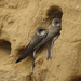 Bank Swallow - Photo (c) vladimir_m, some rights reserved (CC BY-NC)