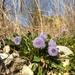 Globularia bisnagarica - Photo (c) Chiaramonte family,  זכויות יוצרים חלקיות (CC BY-NC)