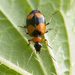 Colorful Foliage Ground Beetles - Photo (c) Roman Providukhin, some rights reserved (CC BY-NC)