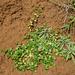 Rostellularia hayatae - Photo (c) 楊富鈞, osa oikeuksista pidätetään (CC BY-NC)