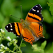 Hypanartia bella - Photo (c) andersonwarkentin, some rights reserved (CC BY-NC)