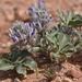 Pediomelum castoreum - Photo (c) lonnyholmes, μερικά δικαιώματα διατηρούνται (CC BY-NC)