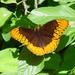 Speyeria diana - Photo (c) pondhawk,  זכויות יוצרים חלקיות (CC BY)