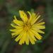 Ixeris chinensis - Photo (c) sunnetchan,  זכויות יוצרים חלקיות (CC BY-NC-SA)