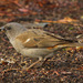 Southern Gray-headed Sparrow - Photo (c) carmelo_lopez, some rights reserved (CC BY-NC), uploaded by Carmelo López Abad