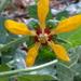 Loasa acerifolia - Photo (c) ludovica_, algunos derechos reservados (CC BY-NC)