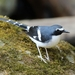 Slaty-backed Forktail - Photo (c) Carlos Sanchez, some rights reserved (CC BY-NC)