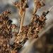 Juncus kraussii - Photo (c) James Bailey, algunos derechos reservados (CC BY-NC)