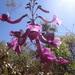 Fridericia platyphylla - Photo (c) Gustavo Lima, osa oikeuksista pidätetään (CC BY-NC)