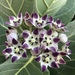 Giant Milkweed - Photo (c) Susan J. Hewitt, some rights reserved (CC BY-NC)